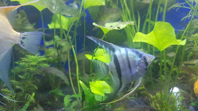 Продам аквариумную рыбку скалярия голубая
