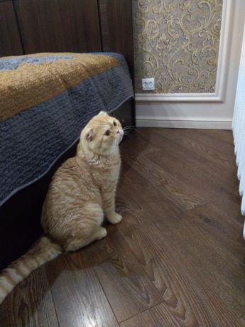 Кот шотландец вислоухий на вязку