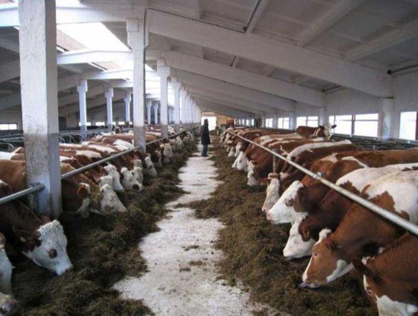 Бузуалар  акбас крс бычки телята каровы