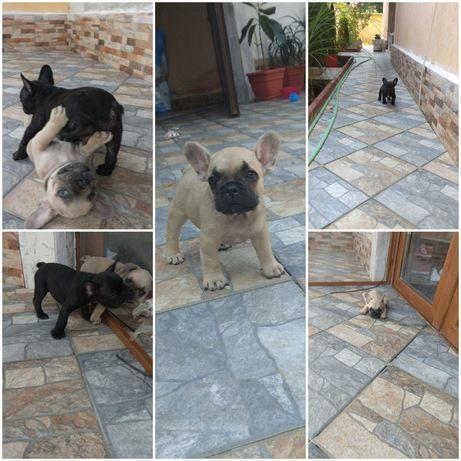 Catei bulldog francez de vanzare