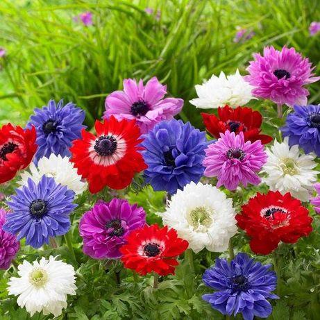 Bulbi anemone - lacrimile Afroditei