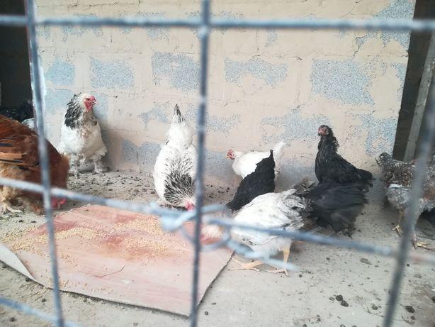 Цыплята 5 мес, куры несушки