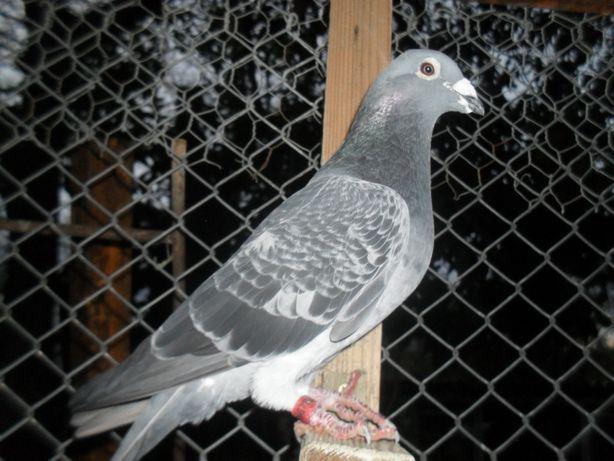 de vanzare porumbei voiajori sport si cu rezultate