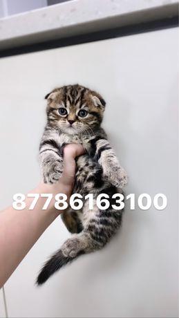 Астана огромный выбор вислоухих котят