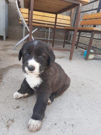 Продается алиментный щенок САО Алабай элитных бойцовых кровей