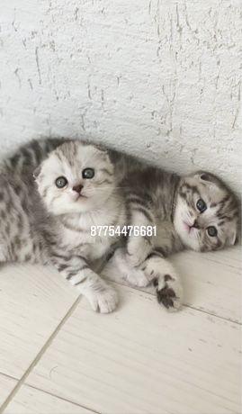 Шотландские котята от элитных производителей