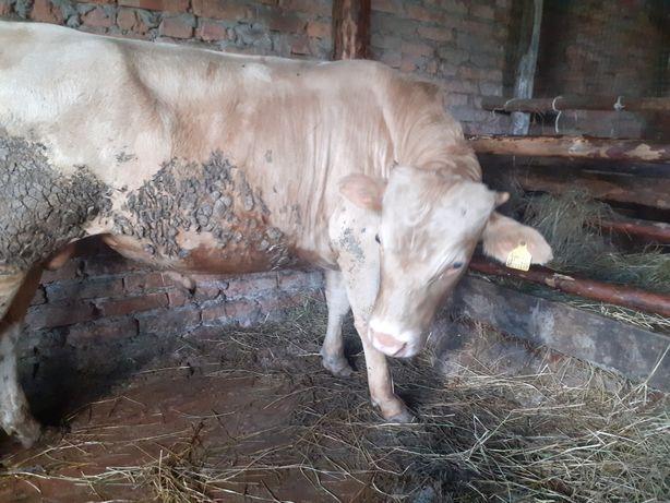 Продам быка 1.5 на откорми 350 000 т.