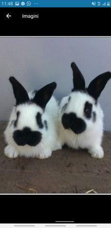 Vând pui iepuri diferite rase