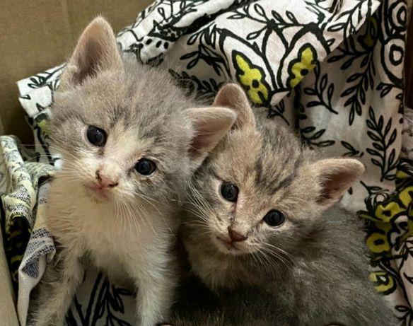 Отдам добрым надёжным хозяевам котят приученные к лотку ласковые нежны