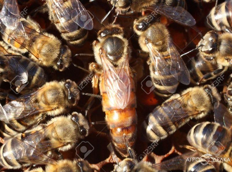 Пчелни майки гр. Велико Търново - image 1