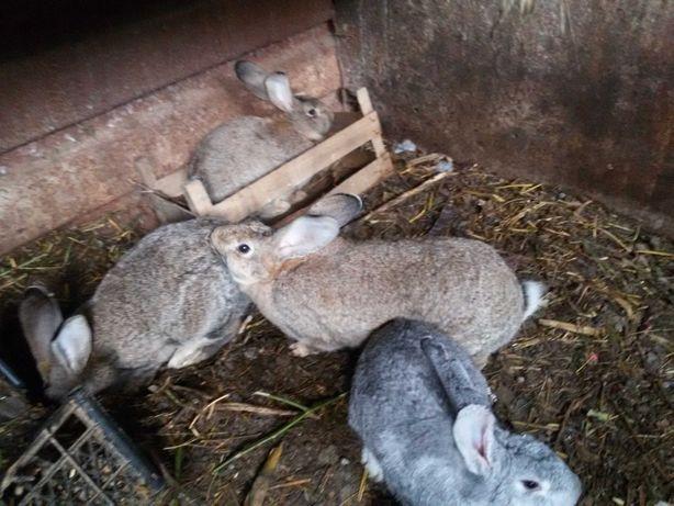 Vand iepuri belgieni ptr taiat sau crestere iepuroaice gestante
