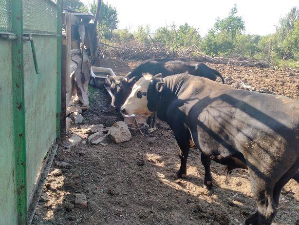 Продам быка порода Ангус