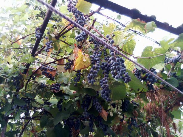 Vând struguri pt vin
