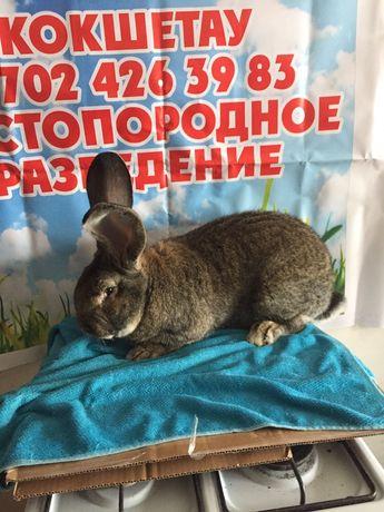 Продам кроликов Фландер