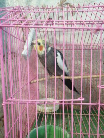 Продам попугаев, кореллы