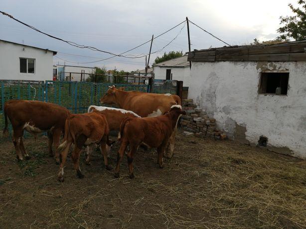 Продам корову и телят 4 шт