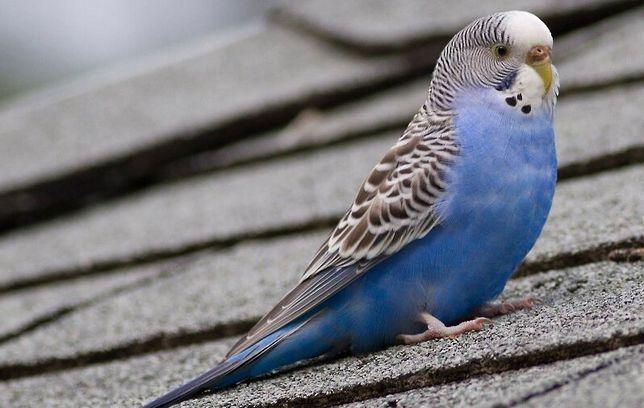 Волнистый попугай - ручной попугайчик