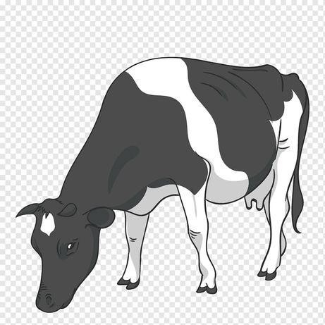 Продам корову 245000