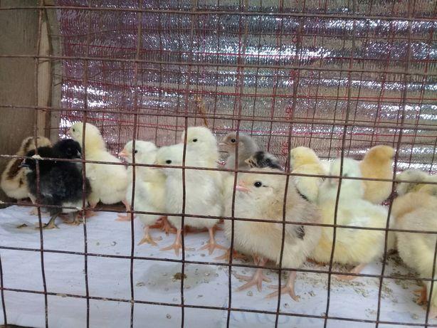 Цыплята несушки продаём