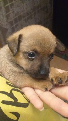 Продам собак русский тойчик
