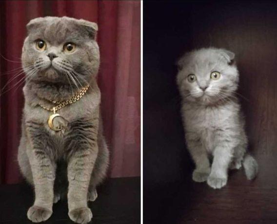 Вязка. Кот шотландец с родословной, ждёт кошечку на своей территории.