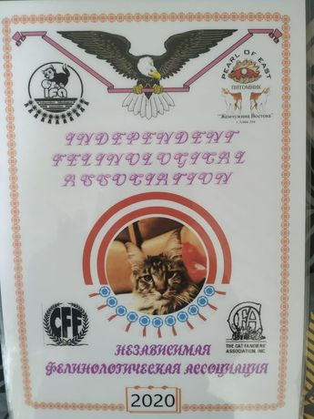 Супер котята Мейн-куна!