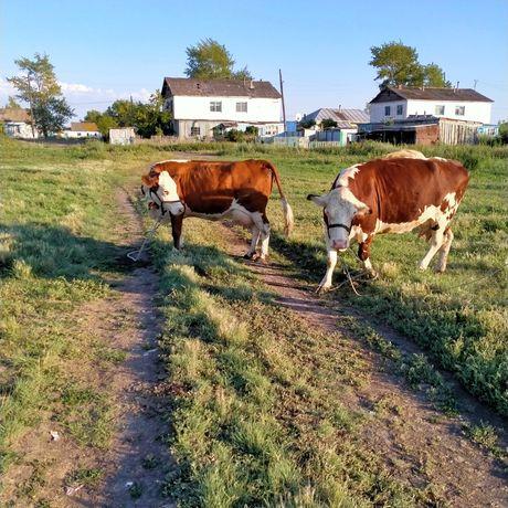 Белоголовые коровы