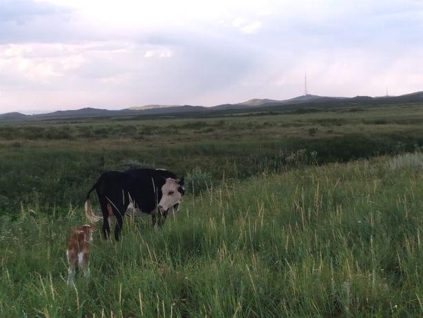 Продам бычки , коровы, телята