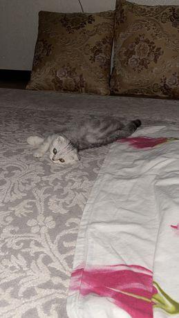 Срочно продам своего котенка вислоухо чиста породистая