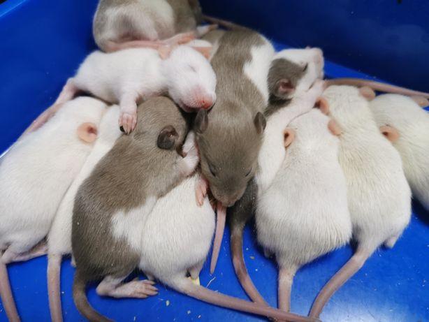 Декоротивные крысята