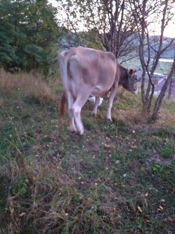 De vînzare 2 vaci tinere una de 5ani si