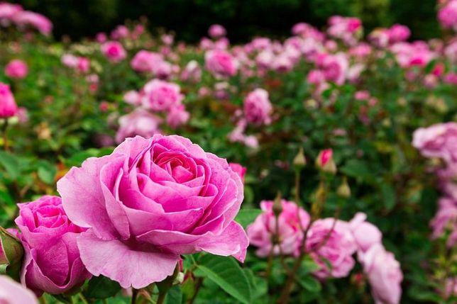 Butasi de trandafiri pentru Dulceata si ulei-Roza damascena