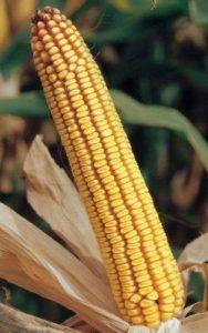Samanta porumb OLT, FAO 430,genetica Fundulea, hibrid semitardiv