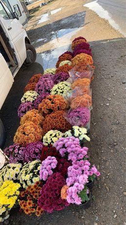 Crizanteme diferite culori