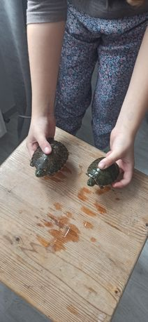 Broasca țestoasă