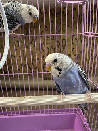 Продам попугаев!