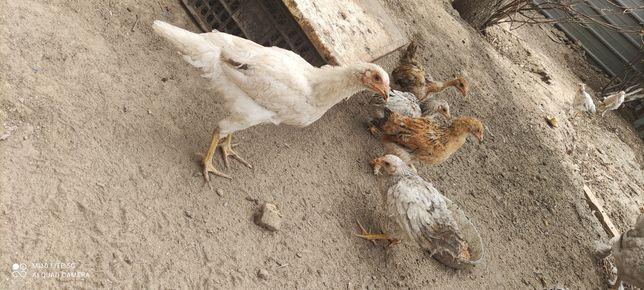 Цыплята 2 месячные