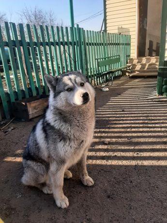 Продаю собаку Хаски