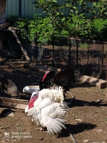 Индюки индюшата балапан белая широкогрудая Гибрид бронз708 биг6 овцы