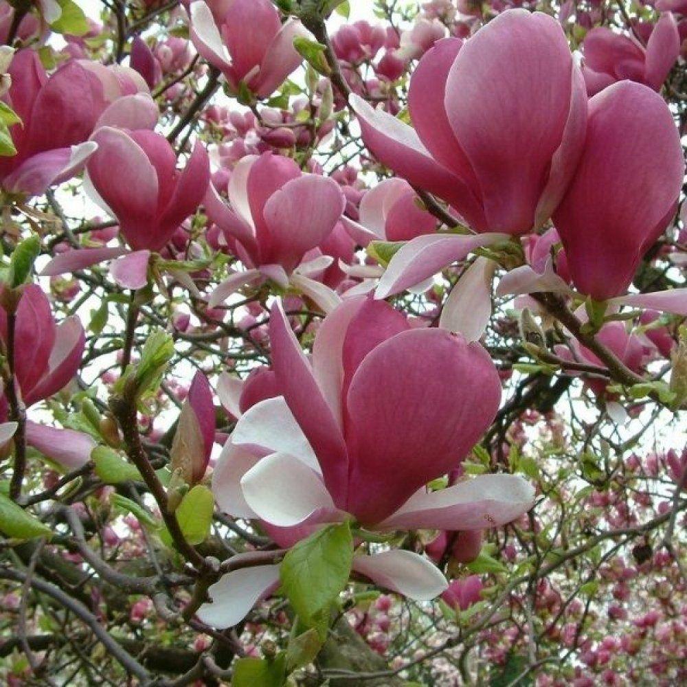 Magnolia soulangena rustica roubra