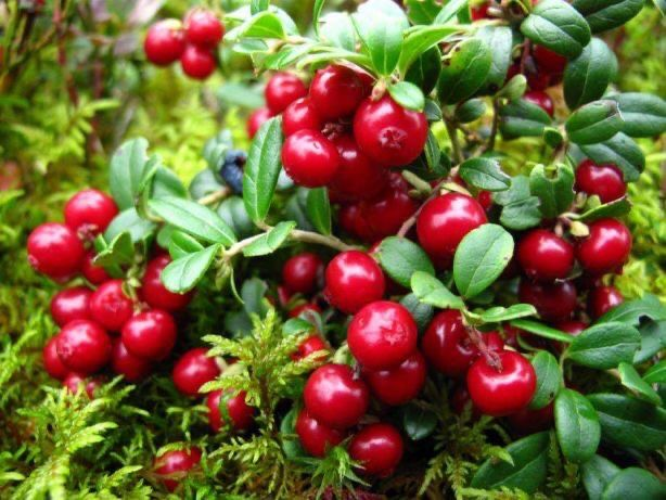 Merisor Cranberry