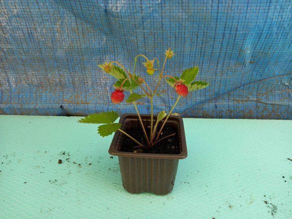 горски ягоди разсад