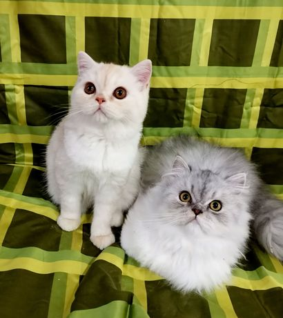 Pisici persane cu Pedigree