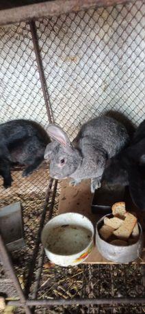 Продам кроликов больших