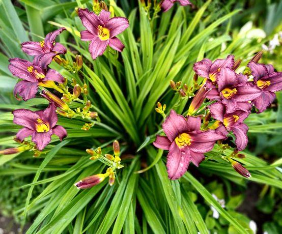 Недорого многолетние цветы