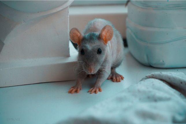 Отдам крыс,крысят