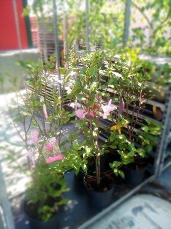 Vindem magnoli rosii la ghiveci si galbene