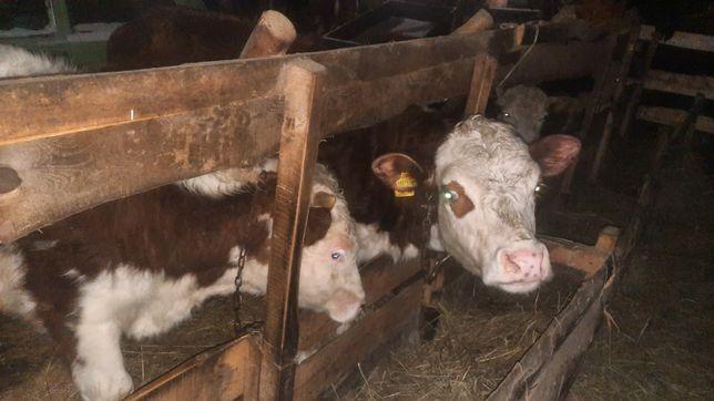 Продам молодняк говядина годовалый, полуторогодовалые