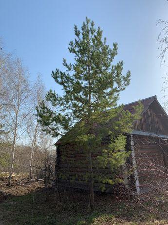 Продам взрослые сосны высотой 10 - 12 метров