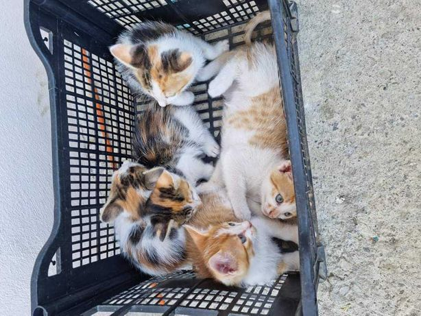 Ofer spre adoptie 5 pui de pisica